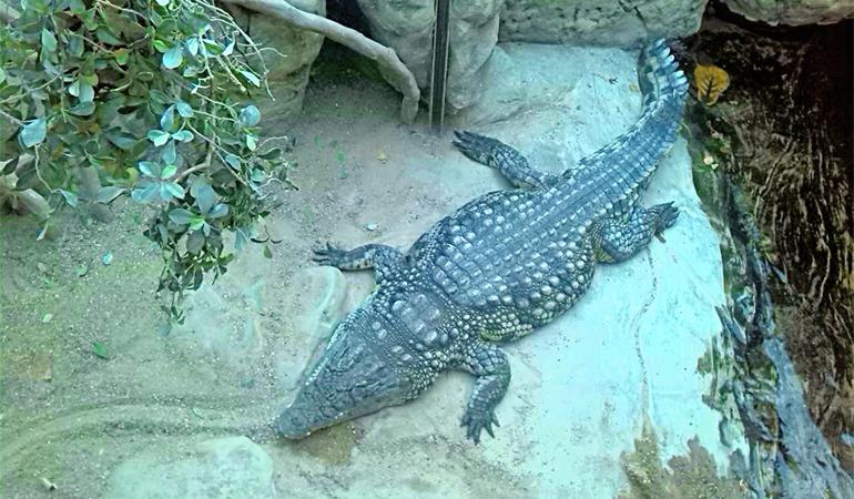 Крокодил ждет еды