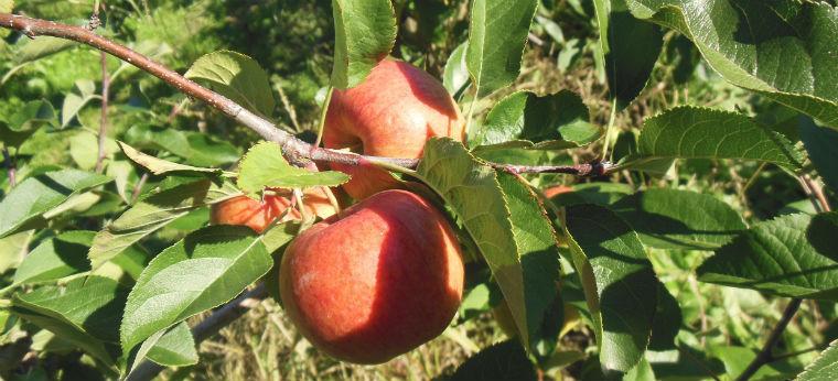 Спелые яблоки на ветке