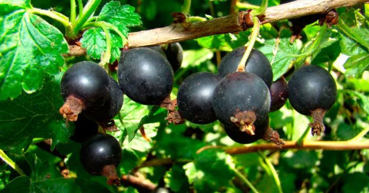 Веточка черной смородины