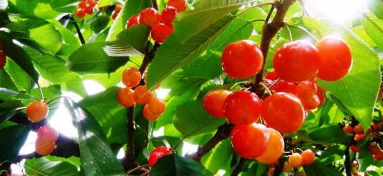 Спелые вишни на ветке