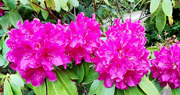 Sad-rododendronov