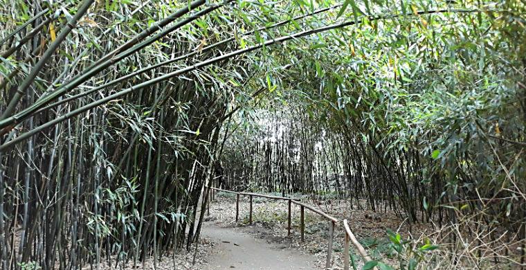 Bambukovaya roshha