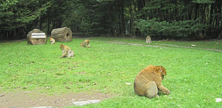 Обезьяны кормятся на лужайке