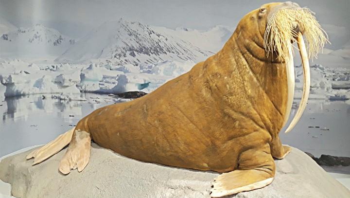 Обитатель северных морей
