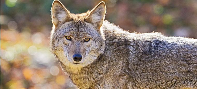 Притаившийся лют, или волк
