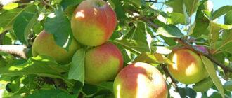 Яблоки полезные