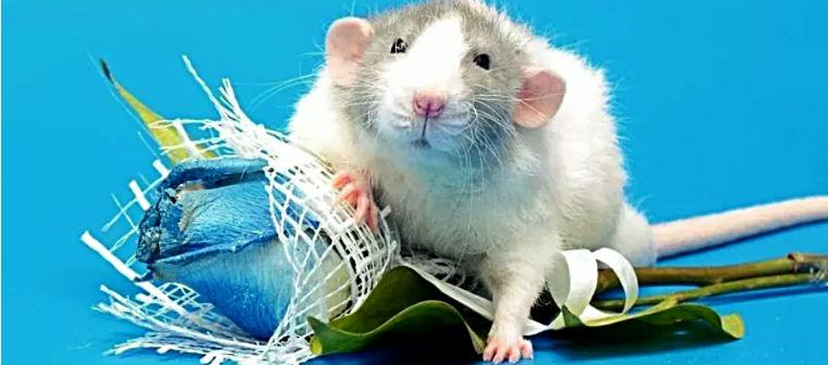 Домашнее животное-крыса декоративная