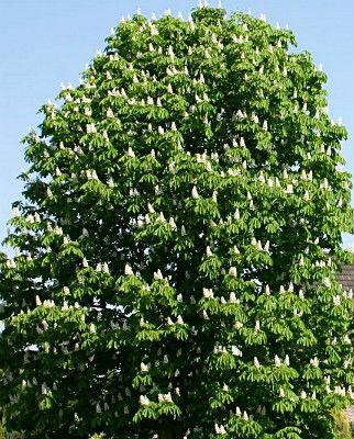 Конский каштан-дерево