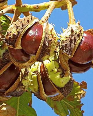 Конский каштан плоды