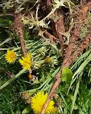 Цветки и корни одуванчиков