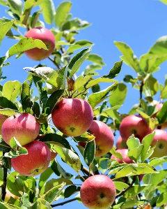 Яблоки как источник витамина С