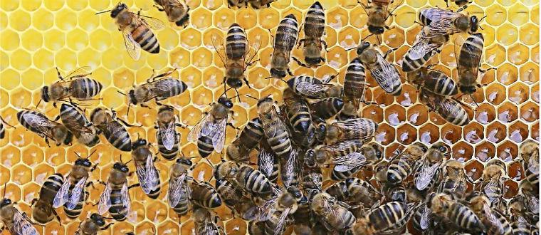 Пчелы наполняют медом соты