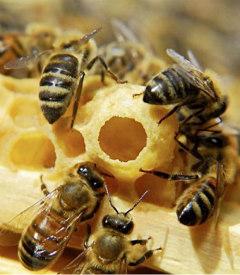 Пчелиное молочко