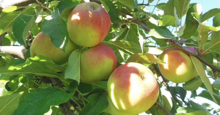 Диабетики могут есть яблоки