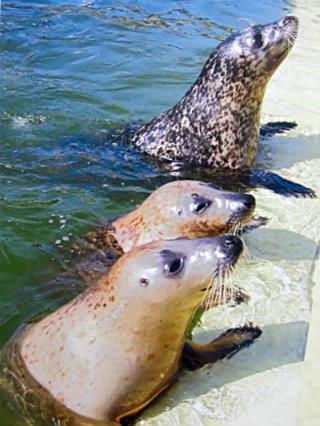 Тюлени и котики