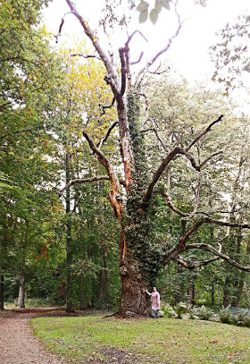 Дерево-ровесник дворца
