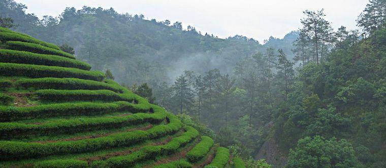 Чай улун-плантации