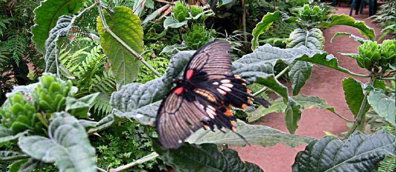 Одна из обитателей сада бабочек