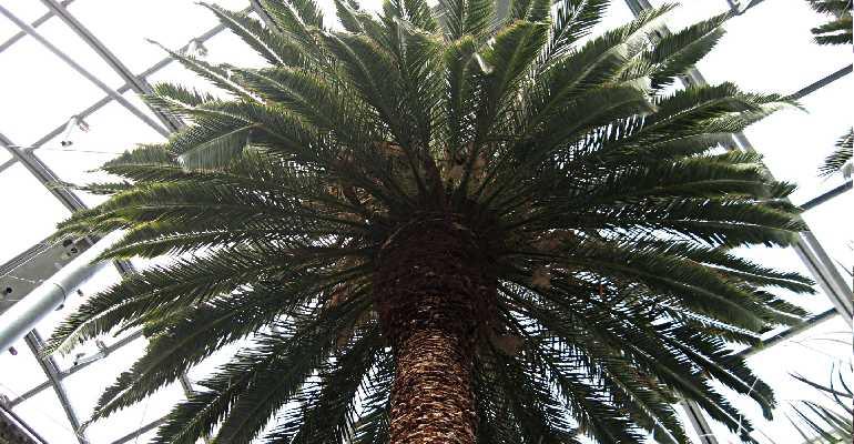 Пышная крона пальмы