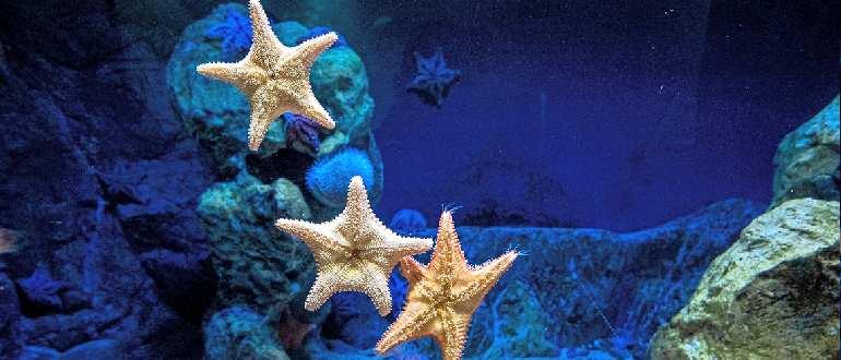 Атлантические морские звезды