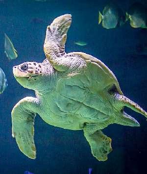 Черепаха плывает в аквариуме