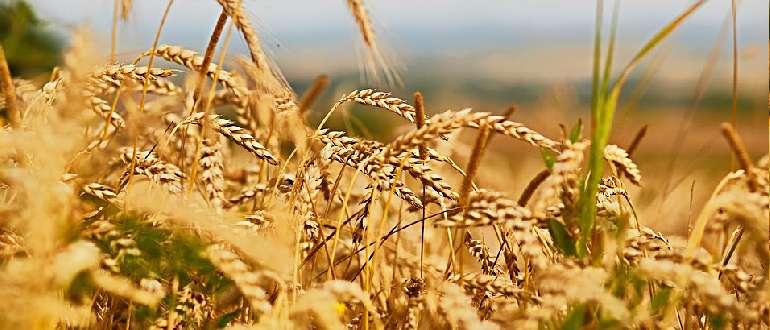 Пшеничное поле-злаки