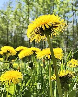 Цветы одуванчика в поле
