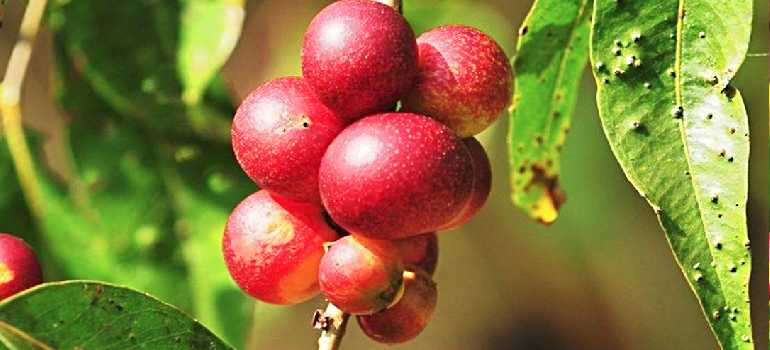лекарственные ягоды каму-каму