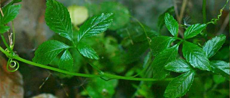 зеленая ветка джиаогулана