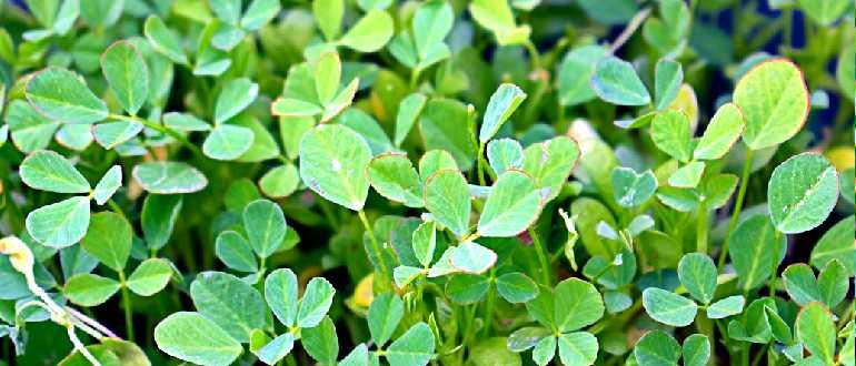 растение пажитник